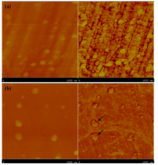 Topographic image (left) and phase image (right) of Itraconazole-TPGS-chloesterol nanoparticles (a) right after production and (b) after storage for 2 h (dark coating of particles was indicated by arrows) prepared by Flash Nanoprecipitation.